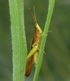 Clipwing Grasshopper