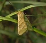 Subflexus Straw Moth (11070)