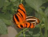 Banded Orange Pair
