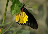 Common Birwing
