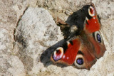 Butterfly X3265A