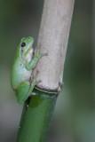 Stripeless treefrog X3486A
