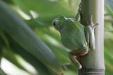 Stripeless treefrog X3530A