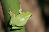 Stripeless treefrog X3553A