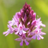 Wild Orchids in the Aquitaine