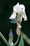 Fairy on Iris