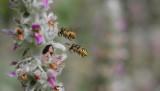 Admiring hornets