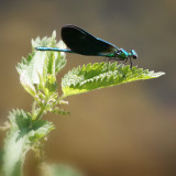 Blue-damsel