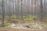 Meschera lowland, forest plantations