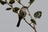 Menetries´s Warbler (Sylvia mystacea)