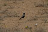 Black-crowned Finch Lark (Eremopterix nigriceps)