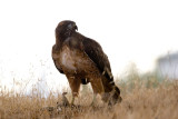 Red-tailed Hawk on squirrel