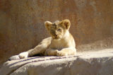 Single Cub - Peacefully Sunning