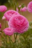 Flower Fields of Carlsbad, CA