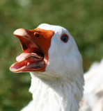 25 March - scarey geese teeth!