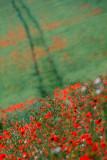 Poppies & tracks
