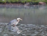 Great Blue Heron who came with me from Beach Haven.