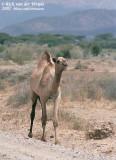 Camels  (Kamelen)