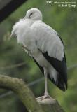 Indische Gaper / Asian Open-Billed Stork