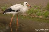 White Stork  (Ooievaar)