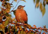 Passerines (and Hummingbirds)