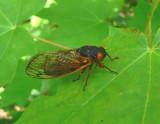 Periodical Cicadas and Dog-day Cicada 2007
