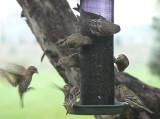 Feeder and Yard Birds