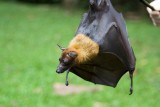 Big bat, Peradeniya
