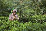 Tea Picking in Bandarawella