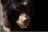 Black Bear at the California Living Museum, near Bakersfield