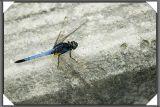 Dragonfly - 60