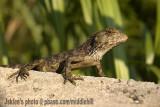 Lizard - 2217