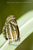 Butterfly - 096