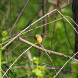 A warbler I think