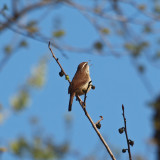 The wren sings a song to Spring time