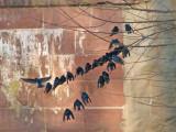 Tree Swallows?