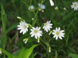 Unknown white flowers