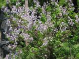 Tree with purple spring flowers - Paulownia?