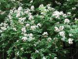Multiflora Rosa