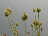Seed heads - Queen Anne's Lace