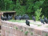 Vultures_1