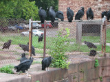 Vultures_2