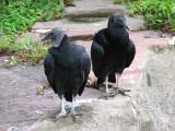 Vultures_4