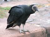 Vultures_5