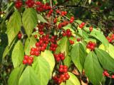 Spice bush berries_1