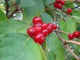 Spice bush berries_2