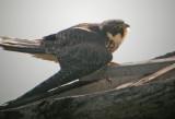 Eurasian Hobby (Falco subbuteo), Lärkfalk