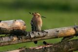 Birds in Tranås municipality,Sweden (regular to rare guests)