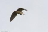 Nycticorax nycticorax / Kwak /  Night Heron