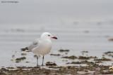 Larus audouinii / Audouins Meeuw / Audouin's Gull